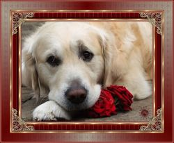 Les 18 – Dog with roses