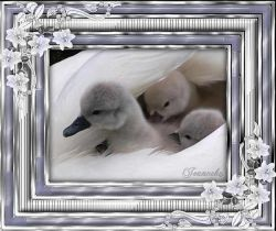Les 48 – Baby swans