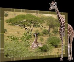 Les 31 - Giraffe